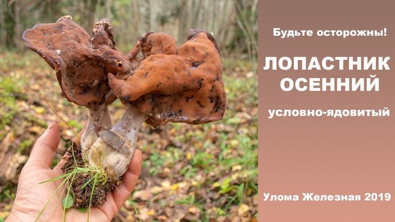Внимание! ЛОПАСТНИК ОСЕННИЙ - условно-ядовитый гриб!