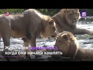 Львы и тигры в США заразились