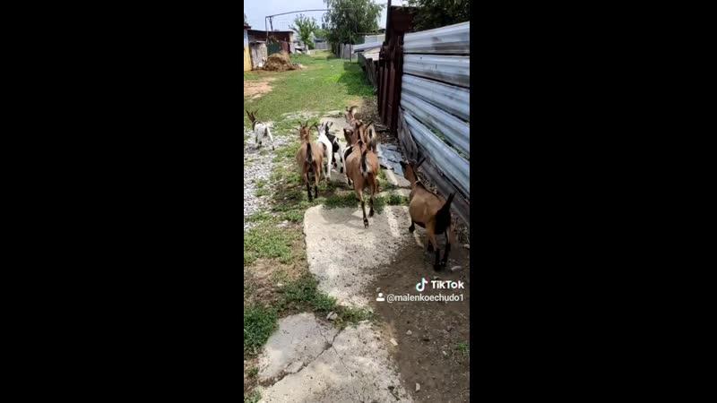 Наши карликовые камерунские козочки по команде бегут домой Очень умные животные