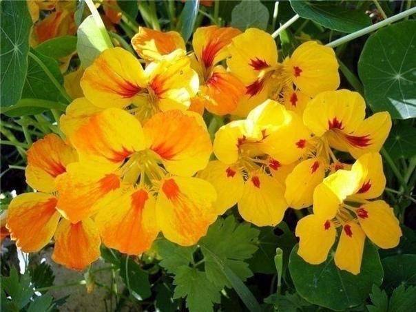 ПЯТЬ ЦЕЛЕБНЫХ ЦВЕТКОВ У ВАС НА КЛУМБЕ 1.Первый целебный цветок маргаритка.Ее издавна используют как лекарственное растение.Действительно все части растения съедобны.Листья можно добавлять в