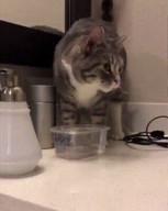 id_56460 Я: *покупаю коту 5 разных мисок для воды* Кот:...  #gif@bon