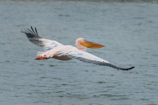 Пока все соцсети обсуждают розовых фламинго в Межводном, к нам прилетел еще один интересный гость - розовый пеликан.1