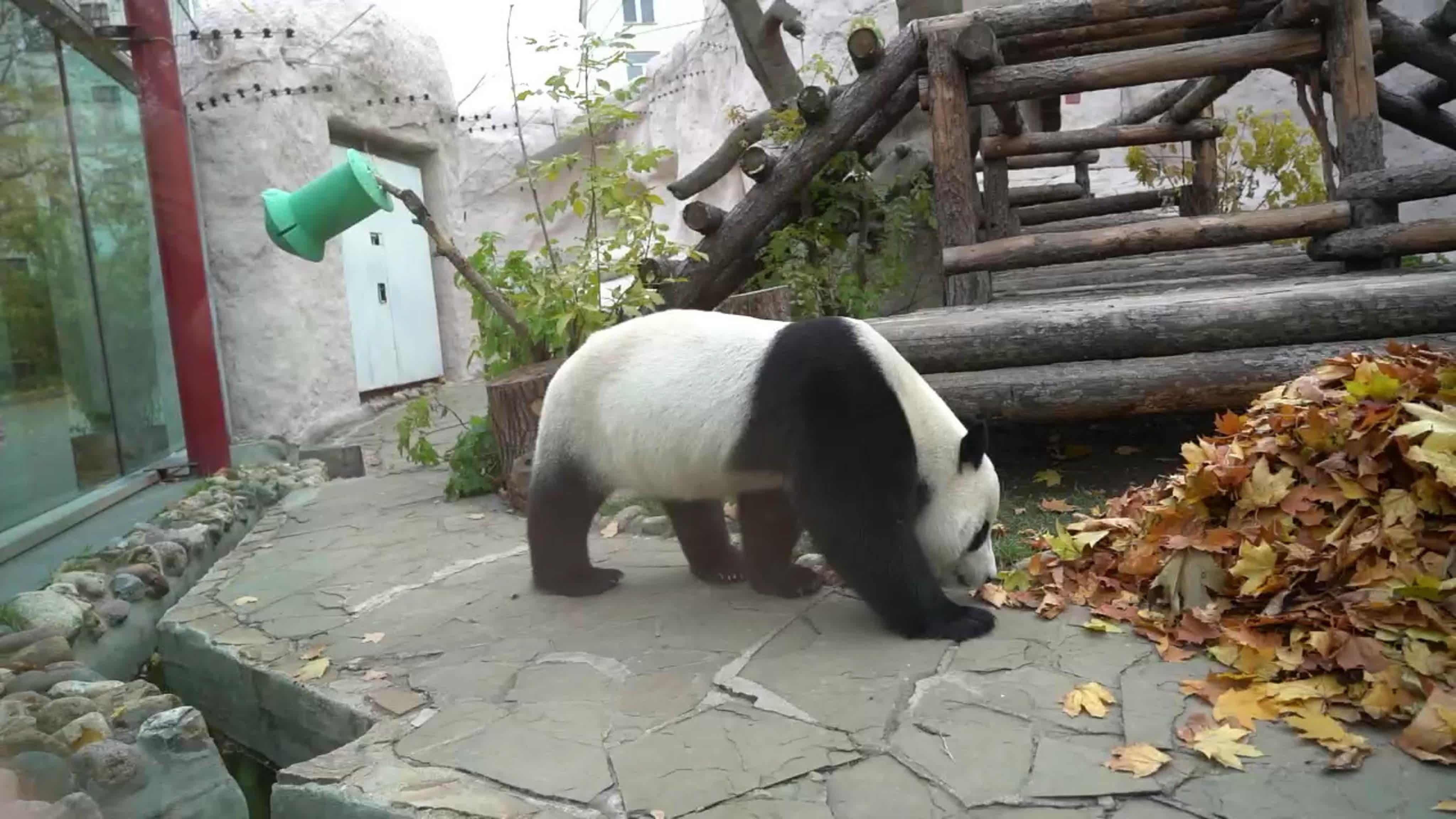Лучшая фотосессия с листьями от панды из Московского зоопарка