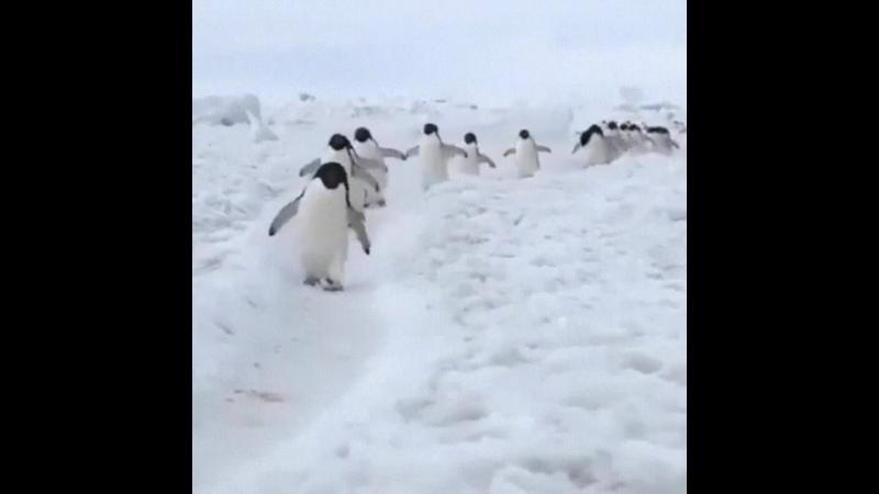 В Антарктиде около 1% поверхности ледников состоит из мочи пингвинов