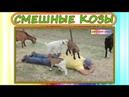 Смешные козы и козлята! Затягивающие приколы про коз! Классные животные. Best Funny Goats Videos