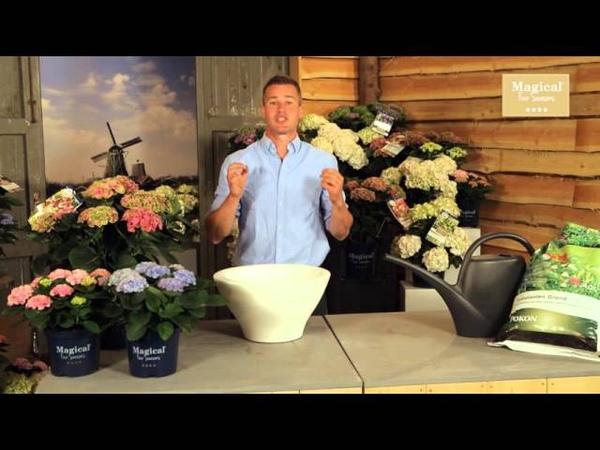 Wat is de beste tijd om een hortensia te planten