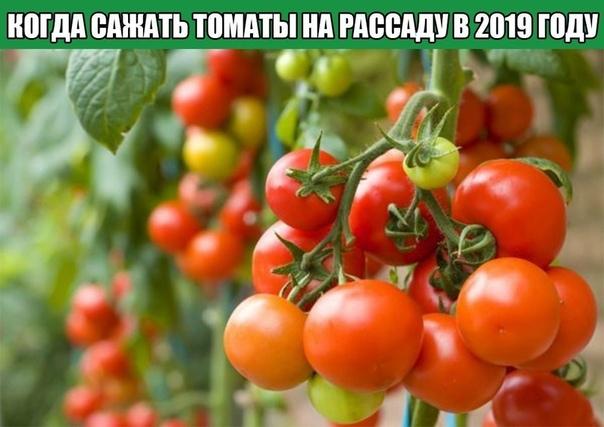 Когда сажать томаты на рассаду в 2019 году В большинстве регионов России томаты выращивают рассадным способом. Помидоры привередливы к температурному режиму, поэтому, определяя сроки посева