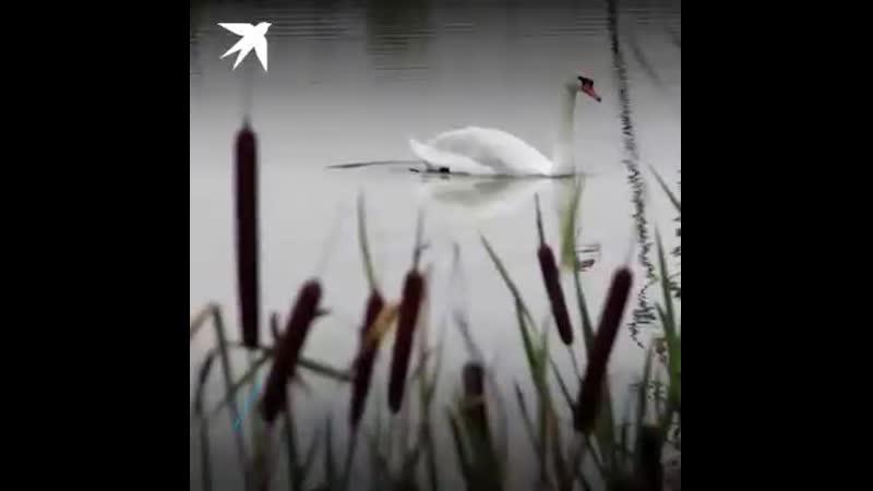 Лебедь вдовец решил жить ради сына