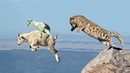 СНЕЖНЫЙ БАРС - Непревзойденный Скалолаз В МИРЕ ЖИВОТНЫХ. ИРБИС - Красивый Горный Кот!