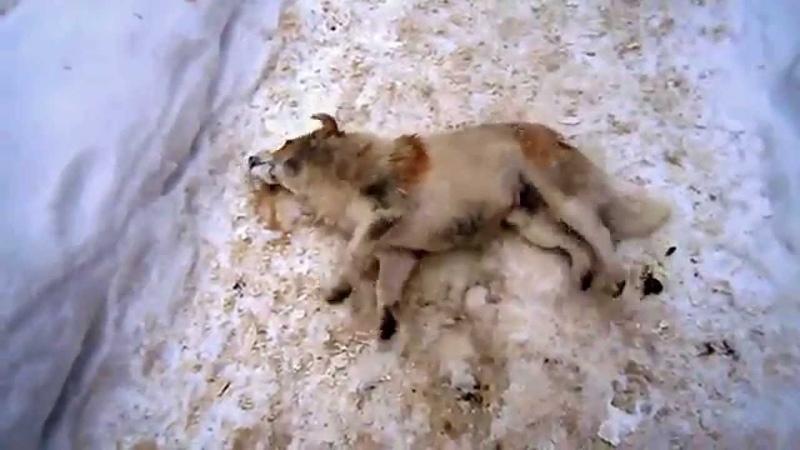 В Молдове власти законно ликвидируют бродячих псов изониазидом