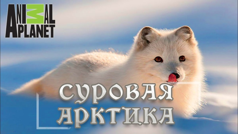 Суровая Арктика Ледяная пустыня Мир природы дикие животные Документальный фильм Animal Planet